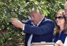 U.S. Ambassador to Israel David Friedman picking an etrog with his wife, Tammy Deborah Sand, in the etrog orchard at Kfar Chabad. Source: Twitter.